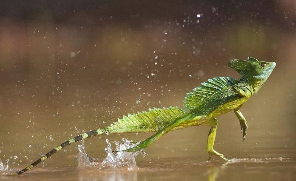 jesus christ lizard running on water
