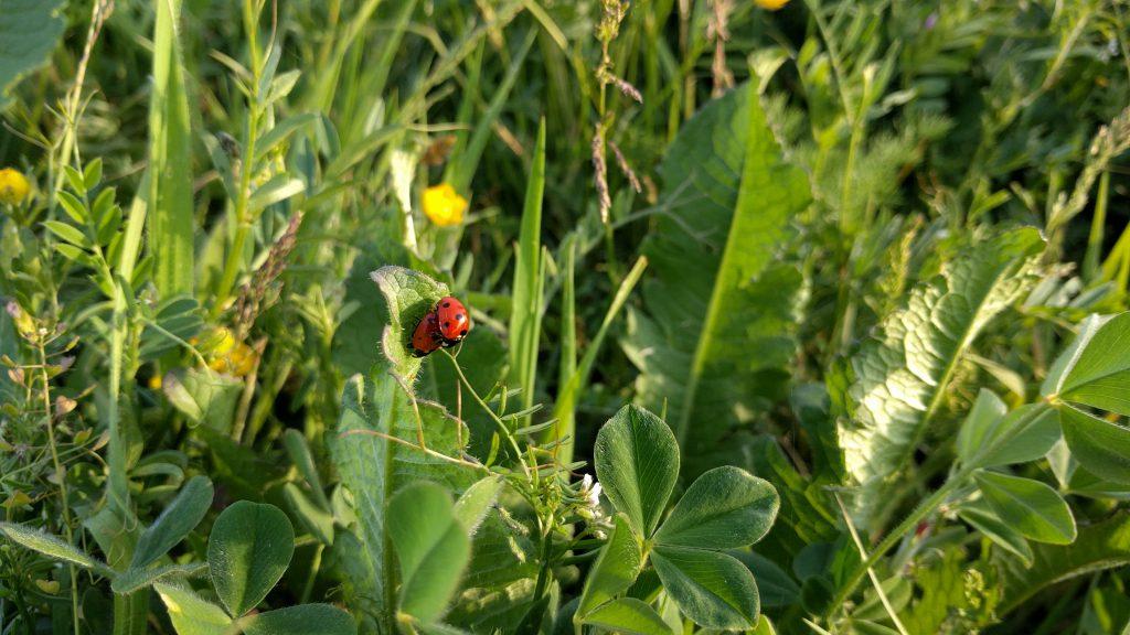 ladybugs-1836262
