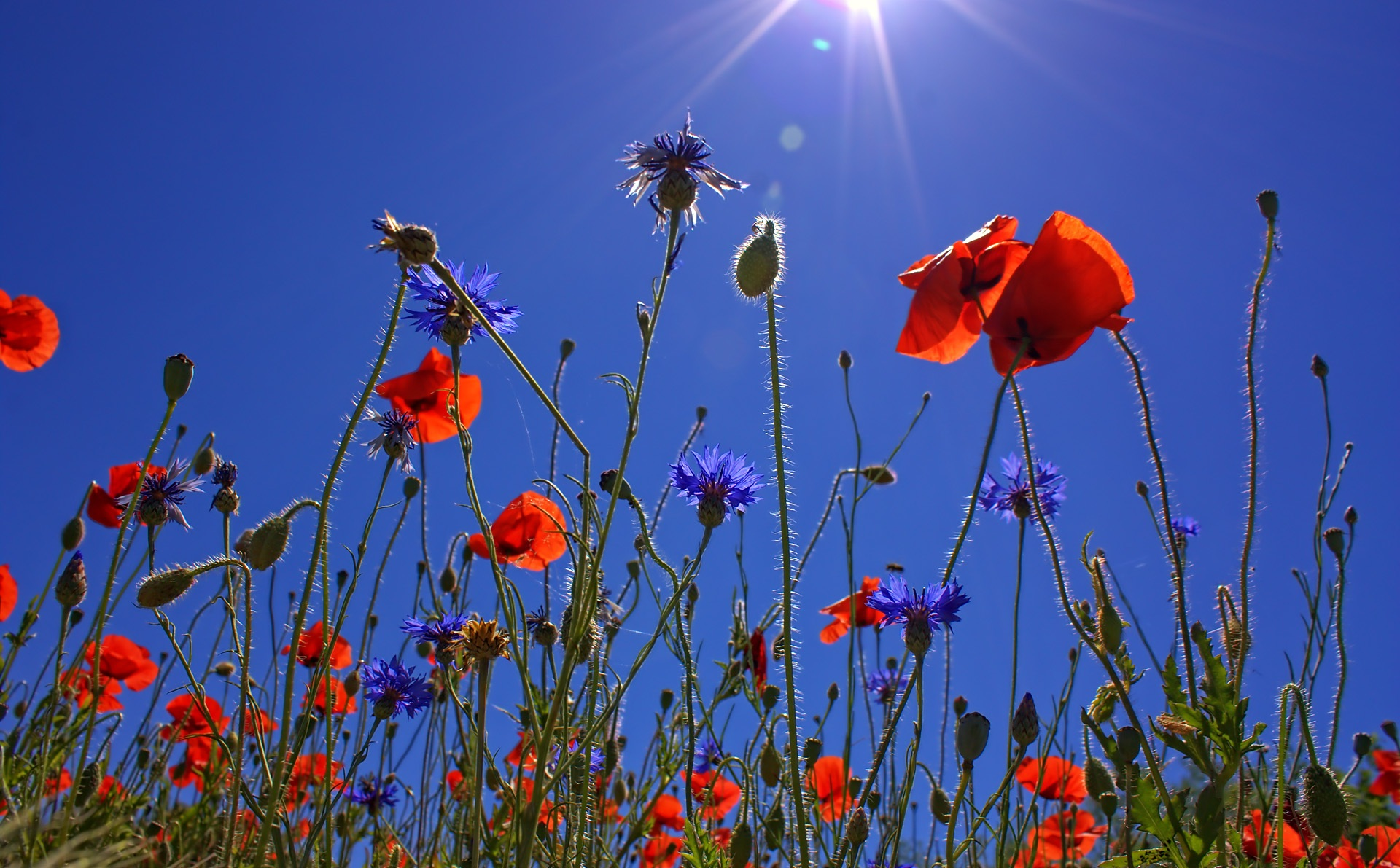 field-of-poppies-807871